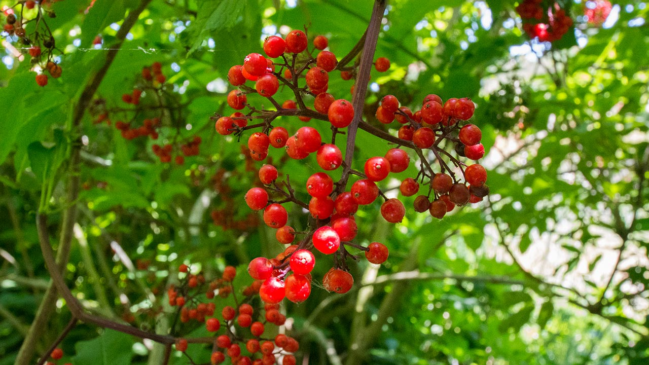 Red Berries at El Polín Spring - Presidio of San Francisco